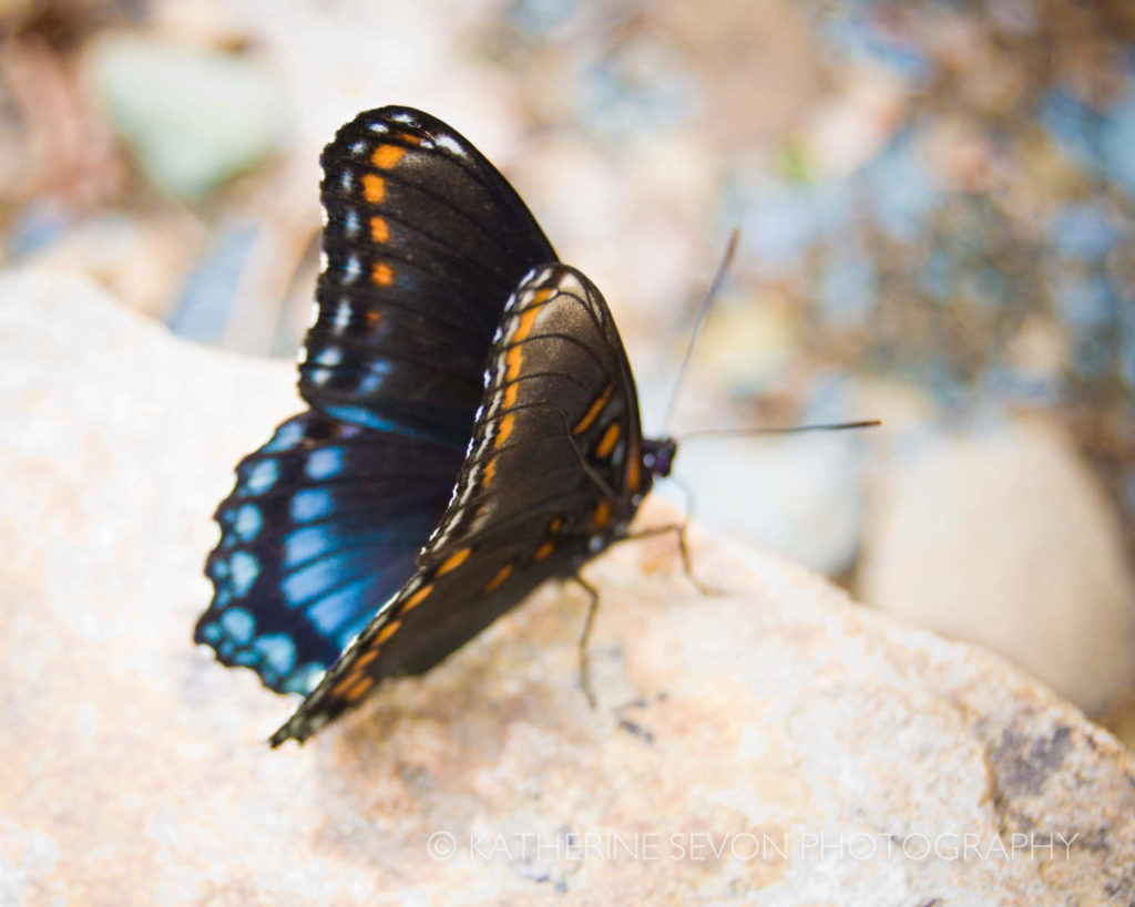 Butterfly with Blue and Orange Wings Resting (photo credit Katherine Sevon)