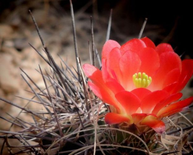 Image result for images Desert Flower